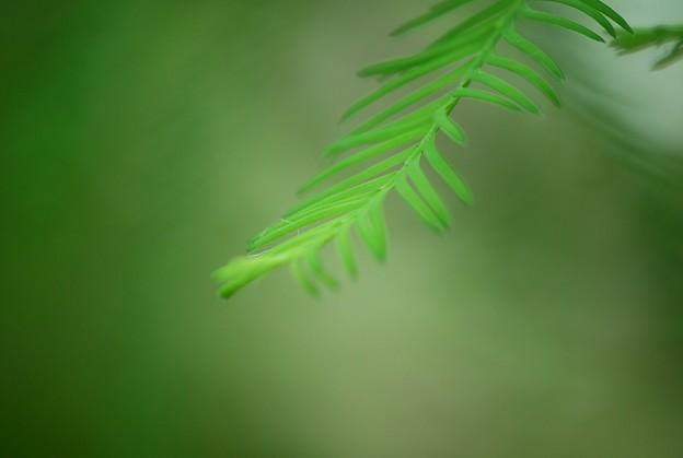 Bald Cypress 5-23-16