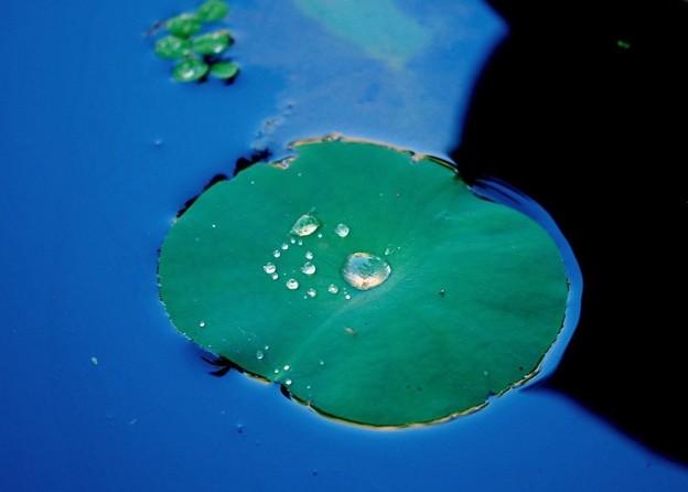 写真: Lotus Leaf 7-20-16