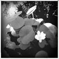 写真: Lotus by Thai Pavilion I 7-20-16