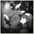 写真: Lotus by Thai Pavilion I 7-20-16