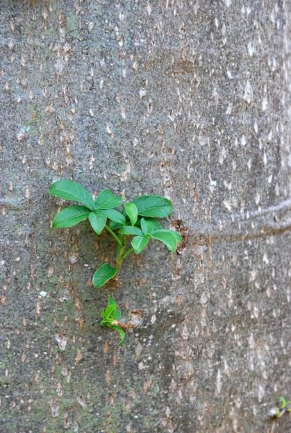 Baobab 6-12-16