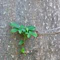 写真: Baobab 6-12-16