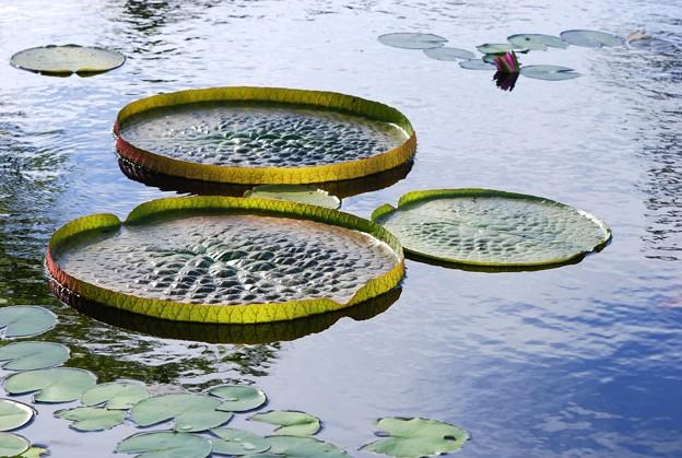 Amazon Waterlily 7-5-16