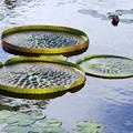 写真: Amazon Waterlily 7-5-16