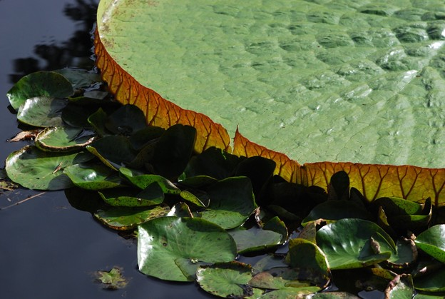 Amazon Giant Water Lily and Water Lily Pads 8-4-16