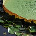写真: Amazon Giant Water Lily and Water Lily Pads 8-4-16
