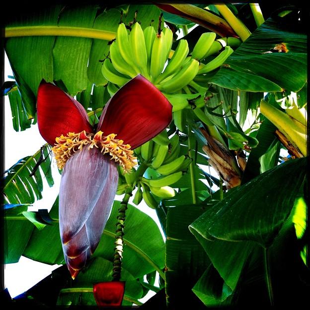 Banana Tree II 7-7-16