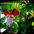 Photos: Banana Tree II 7-7-16