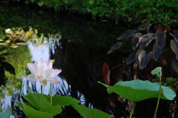 写真: The Lotus Pond 8-4-16