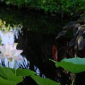 写真: The Lotus Pond 8-4-16
