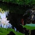 Photos: The Lotus Pond 8-4-16