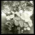 写真: Sacred Lotus in the Pond 8-4-16