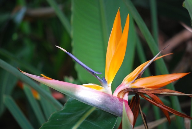 Bird of Paradise I 8-4-16