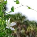 写真: White Swamp Hibiscus 8-4-16