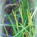 写真: Rice Flowers 8-21-16