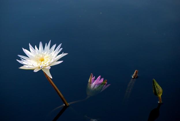 Blue Waterlily 8-29-16