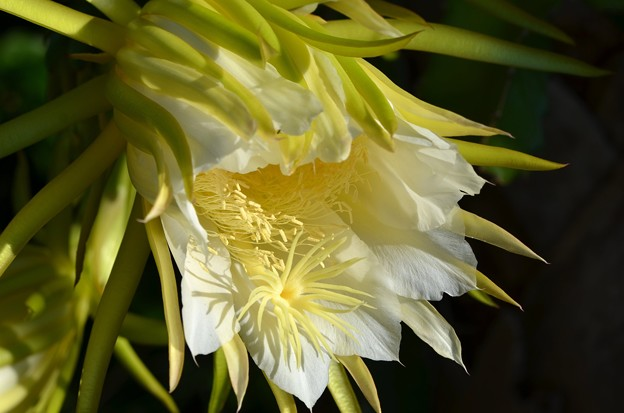 Night Blooming Cereus 9-16-16
