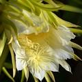 写真: Night Blooming Cereus 9-16-16