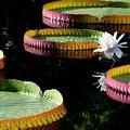 写真: Giant Water Lily 9-16-16