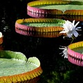 Giant Water Lily 9-16-16