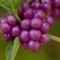 Beautyberry 10-1-16