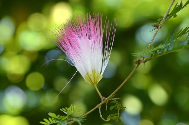 Pink Powderpuff Tree 10-14-16