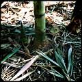 Photos: Bamboo Shoots 10-14-16