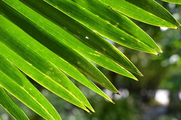Licuala Palm 10-14-16