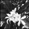 White Plumeria Flowers II  10-25-16