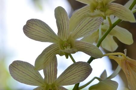 Dendrobium Pearla Kouchi II 10-25-16