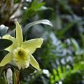 写真: Cattleya I 10-25-16