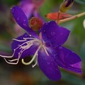 Photos: Tibouchina lepidota 11-8-16
