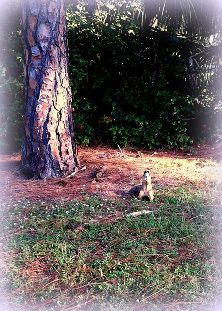 A Fox Squirrel 11-13-16