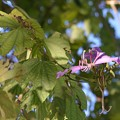 Purple Bauhinia 11-13-16