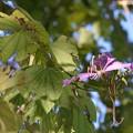 Photos: Purple Bauhinia 11-13-16