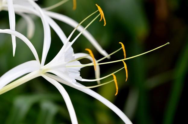 写真: Mangrove Spider-Lily 11-15-16