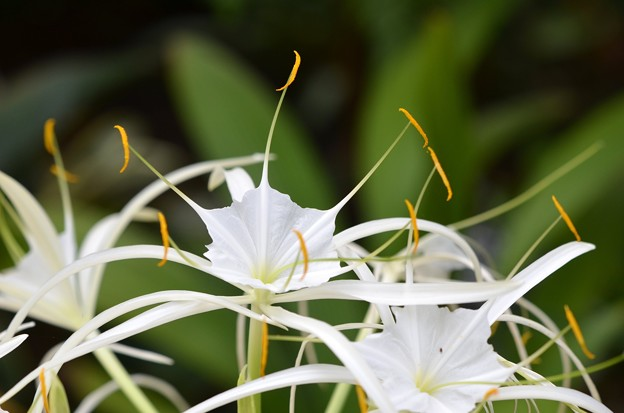 Photos: Hymenocallis latifolia 11-15-16