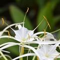 写真: Hymenocallis latifolia 11-15-16