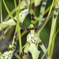写真: Brassia Edvah Loo II 11-29-16