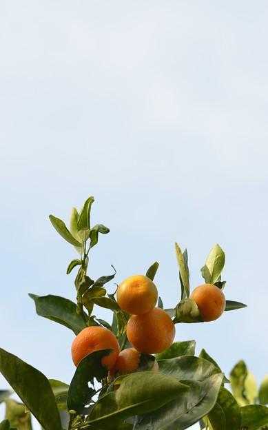 Calamondin Oranges 11-29-16