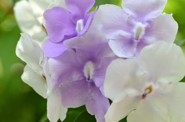 Brunfelsia uniflora 11-29-16