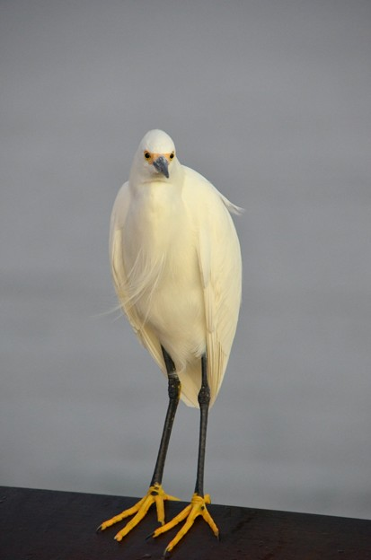 Snowy Egret 2 12-27-16