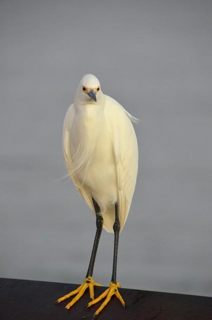 Photos: Snowy Egret 2 12-27-16