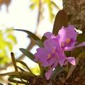 Cattleya Sp.  3-18-17