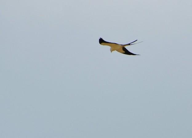 Swallow-Tailed Kite 3-25-17