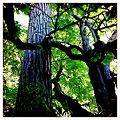 Photos: Black Poplar and Horse Chestnut