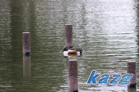 自然環境体験公園(玉野市)のハシビロガモ