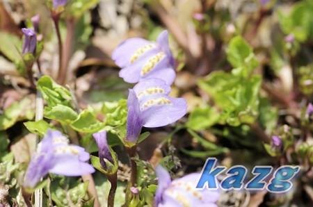 カキドオシ(垣通し)の花 クローズーズアップ