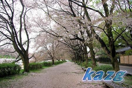岡山後楽園の桜道