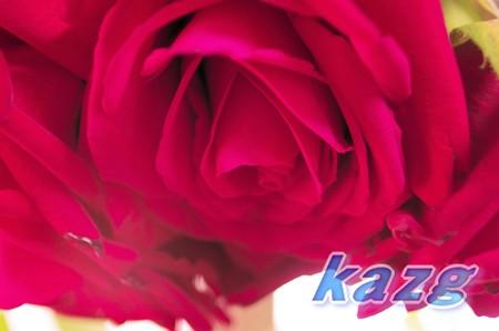 ドライフラワー作成中の赤いバラ